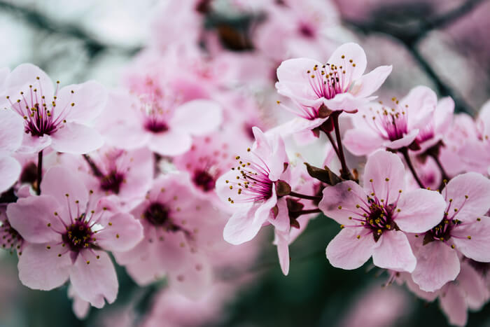 天神中央公園での花見
