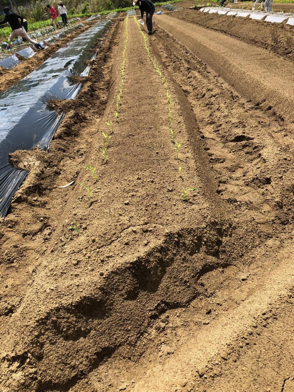 〜福岡 週末農業(第2回目作業)〜 苗植え作業と害虫(テントウムシダマシ)との出会い