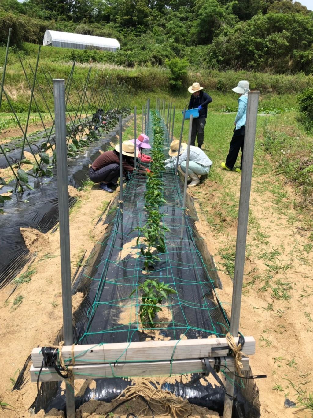 〜福岡 週末農業(第4回目作業)〜 ピーマン、初収穫!