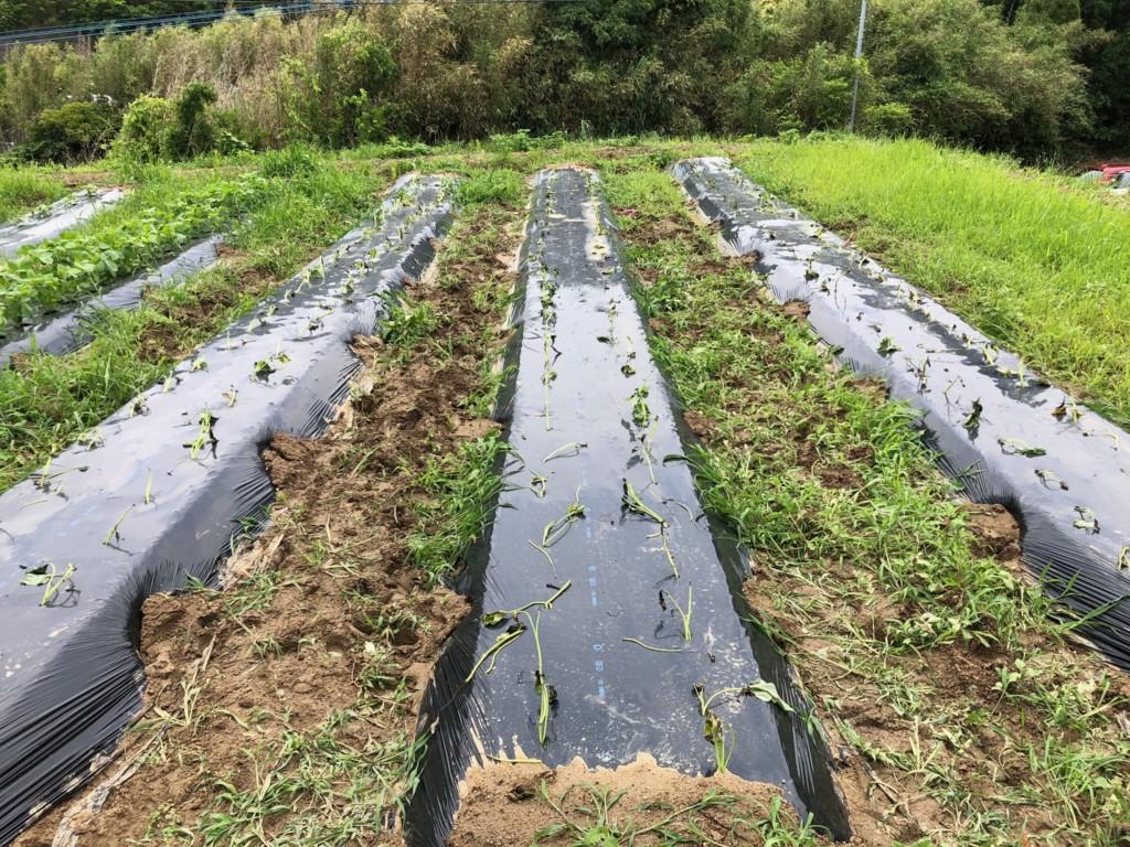 〜福岡 週末農業(第5回目作業)〜 春じゃがいもとピーマンとおナス様の収穫。サツマイモの苗植え。