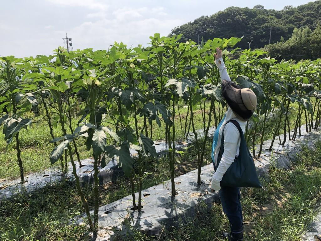 〜福岡 週末農業(第8回目作業)〜 春夏野菜、最後の収穫