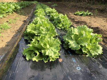 〜福岡 週末農業(第12回目作業)〜葉物野菜の成長、人参の間引き、サツマイモの収穫