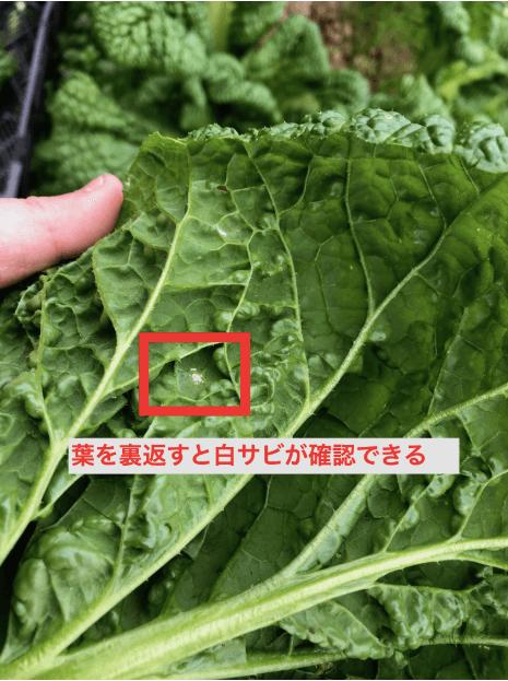 福岡 週末農業 かつお菜
