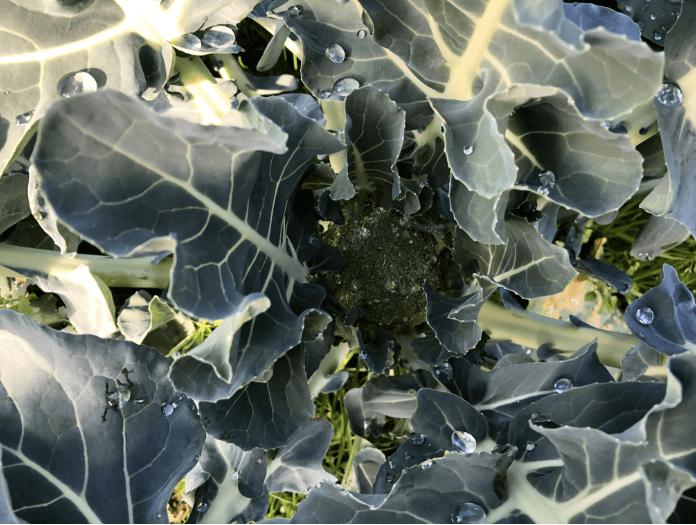 福岡 週末農業 ブロッコリー
