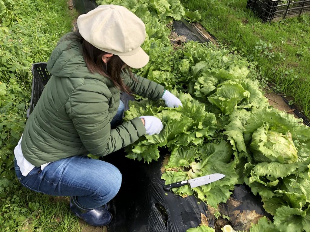 〜福岡 週末農業(第14回目作業)〜サツマイモ・大根・白カブ・葉物野菜の収穫祭