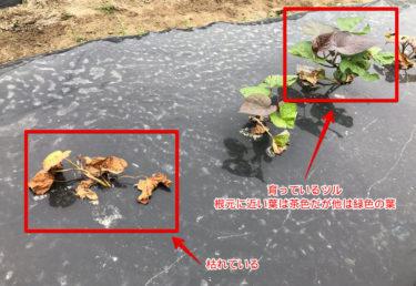 【福岡 週末農業】サツマイモ栽培の失敗と植え替えについて【枯れているサツマイモツルって?】