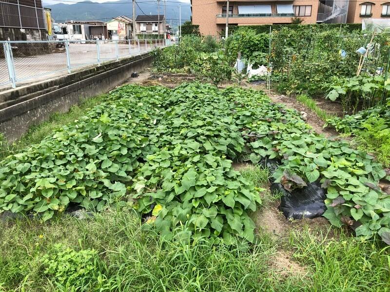 【福岡 週末農業】サツマイモのつる返しのやり方は?