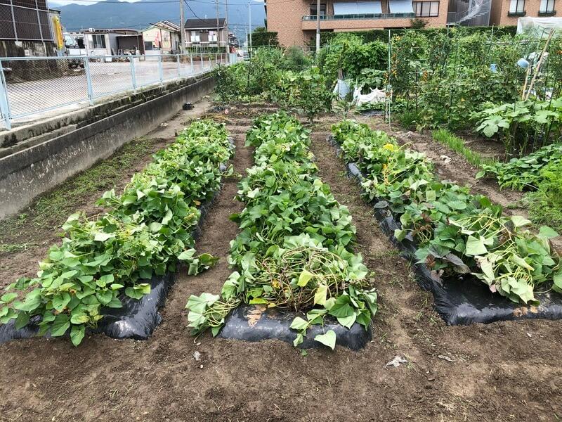 福岡 貸し農園 サツマイモのつる返し 作業後