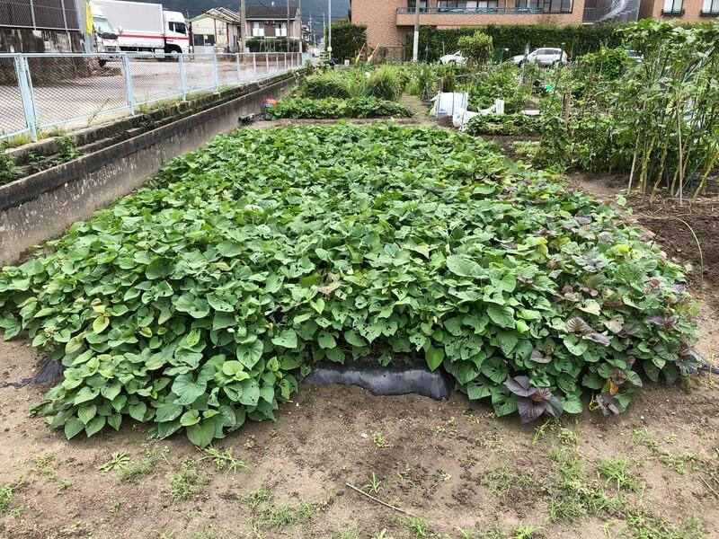 サツマイモの畝