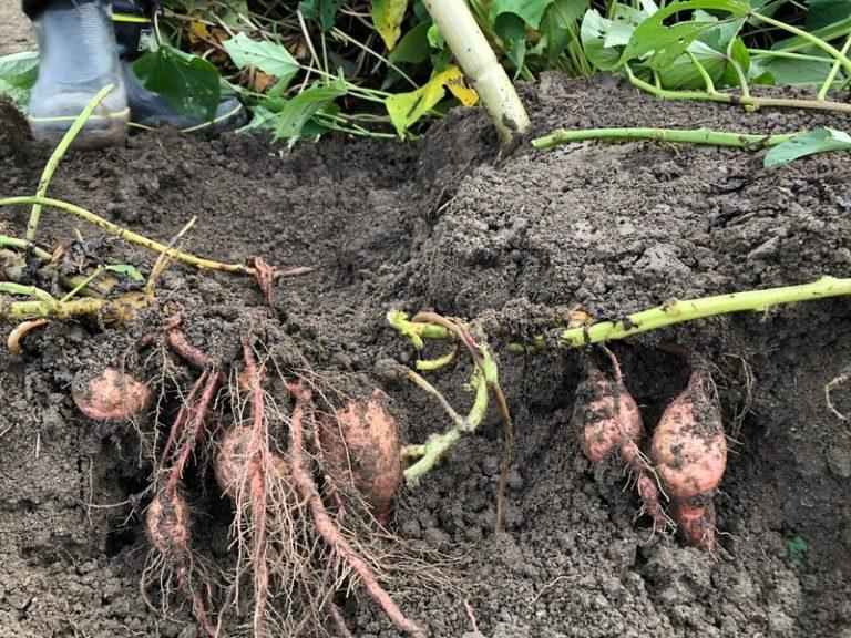 【福岡 週末農業】サツマイモの試し掘りの時期は?【安納芋を試し掘りで収穫してみた】