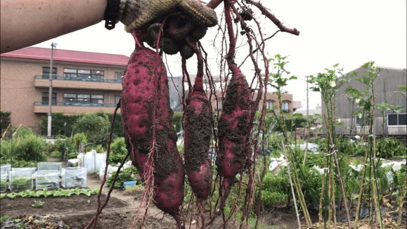 【福岡 週末農業】紅はるかを収穫してみた