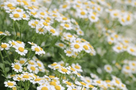 マトカリアのお花