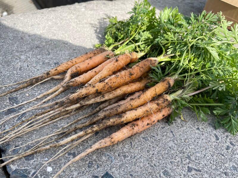 【福岡 週末農業】秋冬野菜の間引き