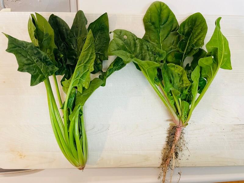 福岡の貸し農園のほうれん草と市販品のほうれん草の比較