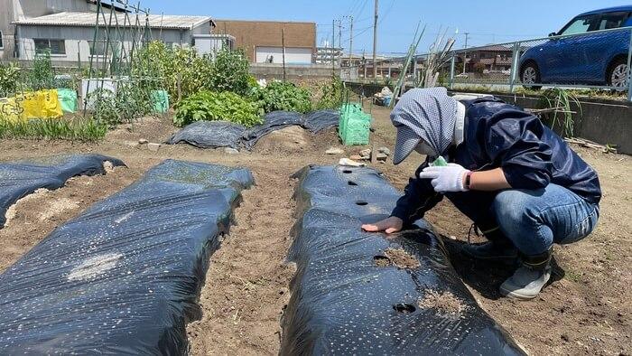 オクラの種を植える