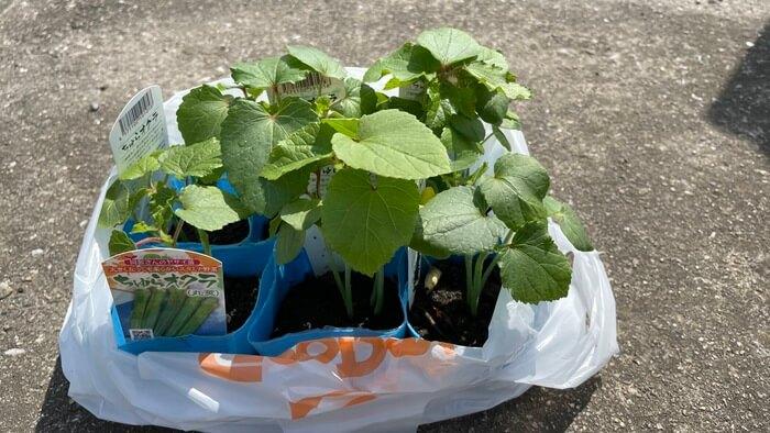 グッデイで購入したオクラの苗