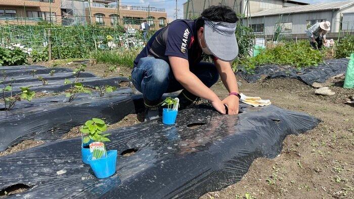 オクラの苗を植えているようす