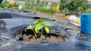 オクラの種・苗植えとサツマイモのつる植え【貸し農園で作付け】