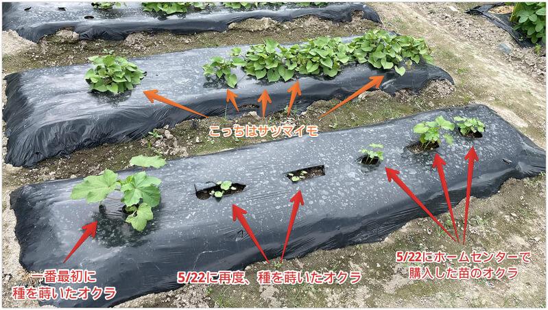 オクラの成長過程と液肥散布【貸し農園で栽培中】