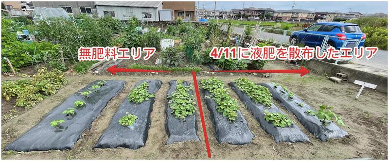 貸し農園 無肥料エリアと液肥を散布したエリア