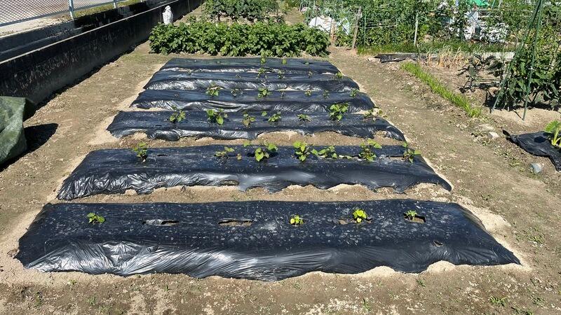 貸し農園でのオクラとサツマイモ栽培