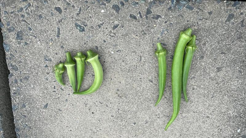 福岡 貸し農園で収穫したオクラ