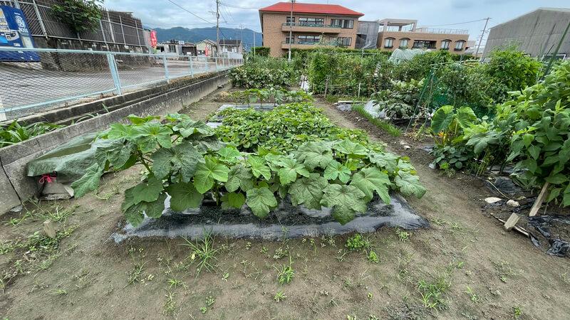 福岡 貸し農園でのオクラ