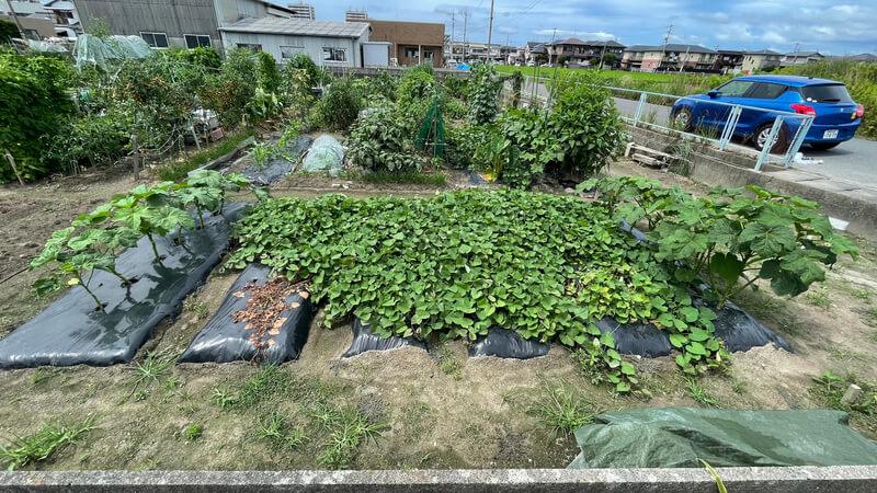 福岡 貸し農園でのオクラとサツマイモの畝