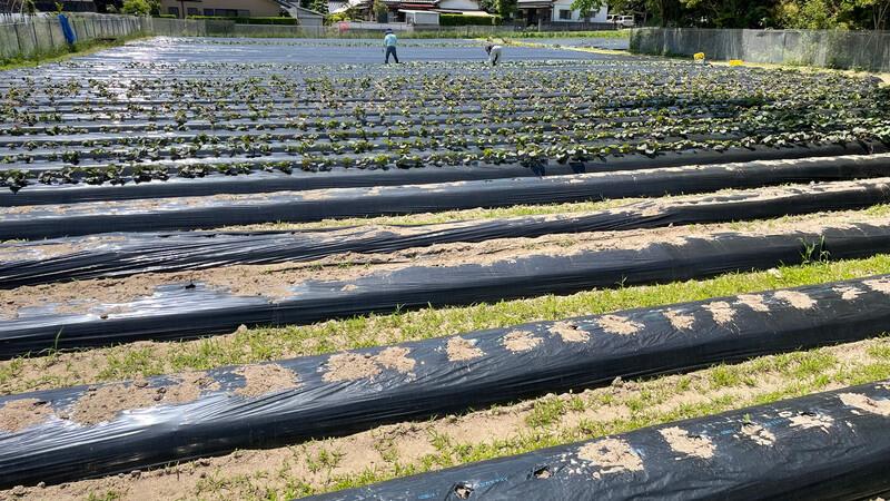 糸島夢農園のサツマイモ畑