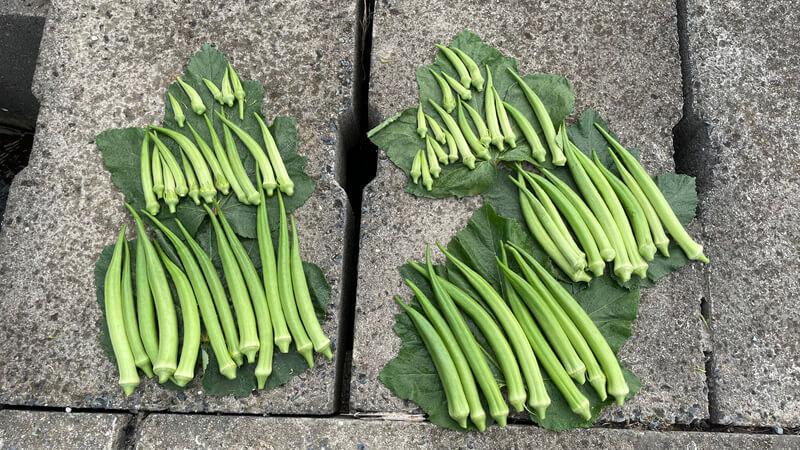 オクラとサツマイモの成長過程【7月から9月】