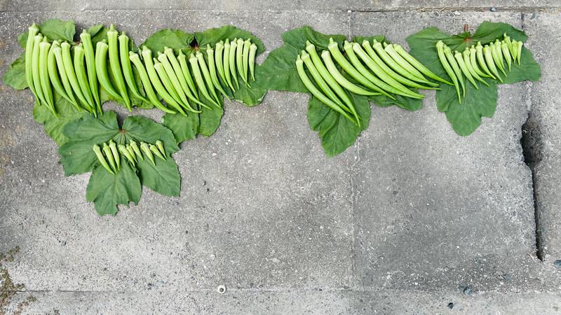 収穫したオクラ
