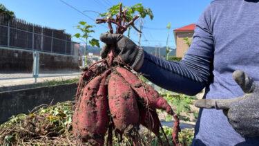 サツマイモ(シルクスイート)の収穫とオクラの撤去【9月から10月】